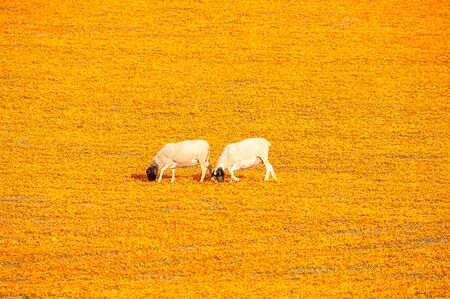 northern cape: Sheep in a carpet of indigenous flowers at Arkoep near Kamieskroon in the Namaqualand region of the Northern Cape Province of South Africa Stock Photo