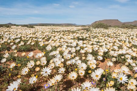 northern african: A carpet of wild flowers at Gannabos near Nieuwoudtville in the Namaqualand region of the Northern Cape Province of South Africa Stock Photo