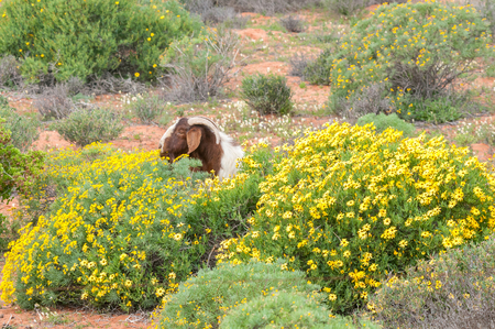 boer: A boerbok boer goat, a species indigenous to Africa, eats flowers near Strandfontein in the Western Cape Province of South Africa