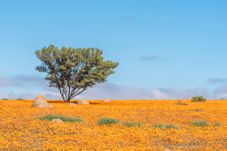 A lonely tree in a sea of orange daisies at Skilpad in the Namaqua National Park of South Africa