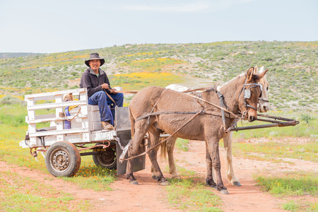 horse drawn: SOEBATSFONTEIN, SOUTH AFRICA - AUGUST 14, 2015: A horse drawn cart with unidentified driver at Boemansuitkyk Busman View. Nature trails and guided tours by horse drawn cart are available