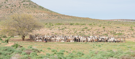 northern african: Dorper sheep in a kraal on a farm between Loeriesfontein and Nieuwoudtville