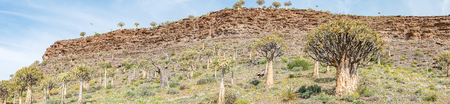 dichotoma: Thousands of quiver trees Aloe dichotoma line the hills in the Quiver Tree Forest at Gannabos near Nieuwoudtville. An eagle is visible in the air