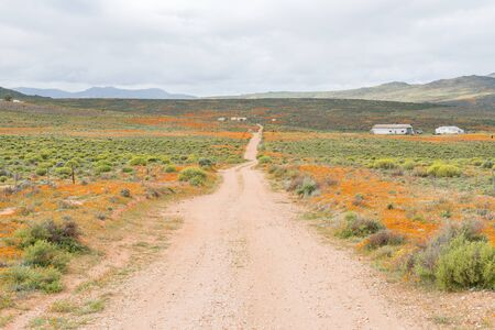 as far as the eye can see: Patches of orange wild flowers as far as the eye can see. Namaqualand, South Africa