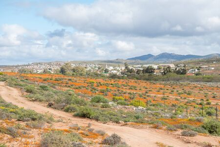 northern cape: Indigenous orange daisies with Garies, a small town in the Namaqualand region of the Northern Cape, in the back