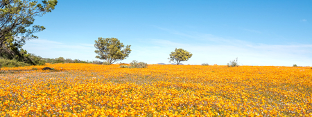 northern african: A sea of orange daisies at Skilpad in the Namaqua National Park of South Africa