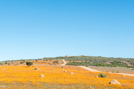 Large fields of indigenous orange daisies at Skilpad in the Namaqua National Park with a rocky viewpoint called Roof Of Namaqualand in the back