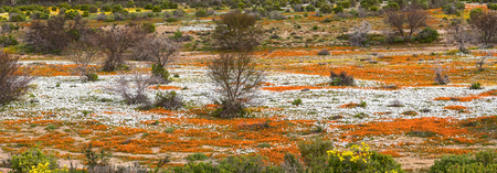 northern african: A river of orange and white wild flowers at Wallekraal between Garies and Hondeklipbaai in the Northern Cape Namaqualand of South Africa Stock Photo