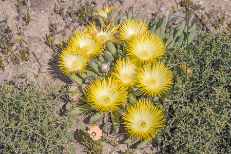 Flowers of cheiridopsis imitans, a succulent plant of the Namaqualand region of South Africa