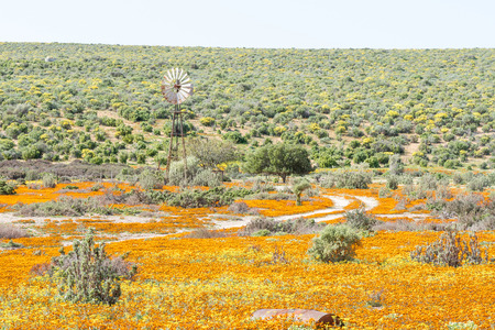 northern african: A windmill in a field of orange and yellow wild flowers near Soutfontein salt fountain in the Northern Cape Namaqualand region of South Africa