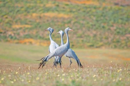 ブルー クレーン、タンチョウ paradisea は、南部アフリカの固有種、絶滅危惧鳥正貨です。それは南アフリカ共和国の国民の鳥 写真素材