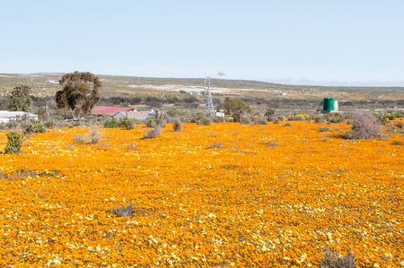 NARIEP, SOUTH AFRICA - AUGUST 15, 2015:  A wind generator in a sea of wild flowers on the road to Groenrivier green river at the Northern Cape Atlantic coast of South Africa