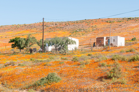 A carpet of indigenous flowers in Molsvlei, a small village in the Namaqualand region of the Western Cape Province of South Africa