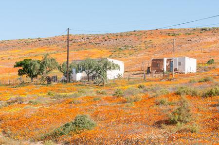 Ein Teppich aus einheimischen Blumen in Molsvlei, einem kleinen Dorf in der Namaqualand Region des Western Cape Provinz von Südafrika Standard-Bild - 46604610