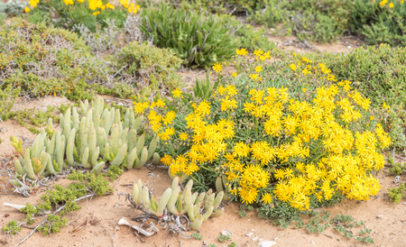 Wild flowers at Groenriviermond green river mouth on the South African Atlantic coast