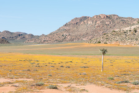 dichotoma: A carpet of indigenous flowers in the Goegap Nature Reserve at Springbok in the Namaqualand region of the Northern Cape Province of South Africa Stock Photo