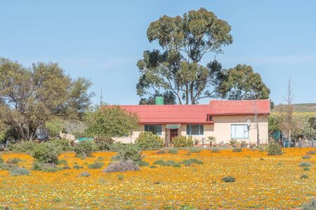 northern cape: GROENRIVIER, SOUTH AFRICA - AUGUST 15, 2015:  A farm house in a sea of wild flowers on the road to Groenriviermond green river mouth on the Northern Cape Atlantic coast