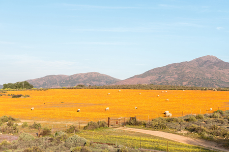 northern cape: Dorper sheep in a sea of Orange daisies at Arkoep in the Northern Cape Namaqualand region of South Africa Stock Photo