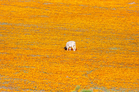 northern cape: A Dorper sheep in a sea of Orange daisies at Arkoep in the Northern Cape Namaqualand region