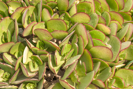northern african: The pigs ear, Cotyledon orbiculata, is a succulent plant indigenous to South Africa