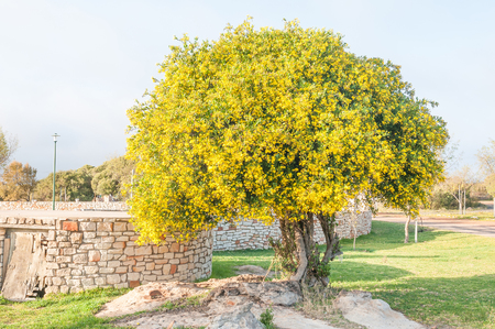 far eastern: The Perdebos horse bush, Didelta spinosa, is a woody shrub or small tree endemic to the far eastern part of South Africa. Photo taken at the Nieuwoudtville Municipal Caravan Park