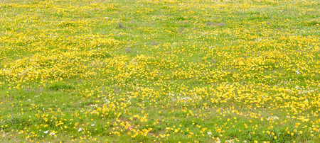 northern african: Panorama of yellow daisies at Matjiesfontein farm near Nieuwoudtville in the Northern Cape Province of South Africa Stock Photo
