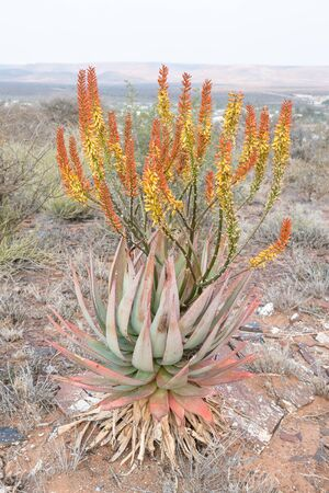 northern cape: An aloe growing at Prieska in the Northern Cape Province of South Africa, possibly Aloe ferox Stock Photo