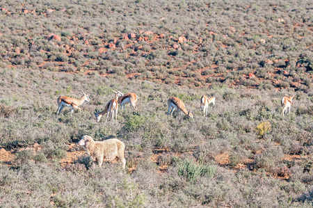 merino sheep: A typical late afternoon Karoo farm scene with merino sheep and springbok near Calvinia in the Northern Cape Province of South Africa