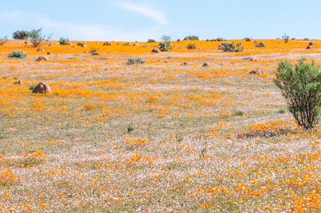northern cape: White and orange indigenous flowers at Skilpad in the Namaqua National Park near Kamieskroon in the Namaqualand region of of the Northern Cape Province of South Africa