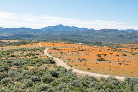 先住民族のオレンジ色のデイジーの大きなフィールドで Skilpad ナマクワ国立公園内のビュー