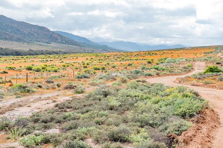 northern cape: Indigenous orange and yellow wild flowers near Garies, a small town in the Namaqualand region of the Northern Cape Province of South Africa