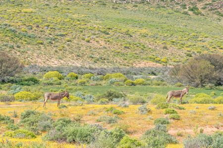 northern cape: Two donkeys in a field of wild flowers near Spoegrivier spit river in the Northern Cape Namaqualand region of South Africa