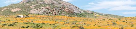 northern cape: A farm covered with orange daisies between  Soebatsfontein and Wallekraal in the Northern Cape Province of South Africa