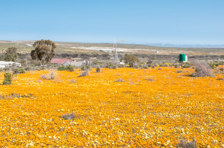 northern cape: NARIEP, SOUTH AFRICA - AUGUST 15, 2015:  A wind generator in a sea of wild flowers on the road to Groenrivier green river on the Northern Cape Atlantic coast of South Africa