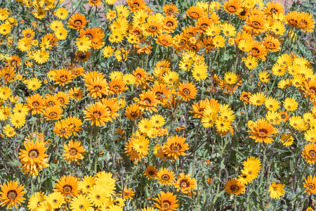 northern cape: Yellow and orange daisies in the Skilpad section of the Namaqua National Park, in the Namaqualand region of the Northern Cape Province of South Africa Stock Photo