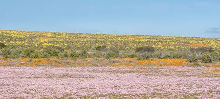 northern cape: Colourful indigenous flowers near Groenrivier Green River, in the Namaqualand Region of the Northern Cape Provinve of South Africa
