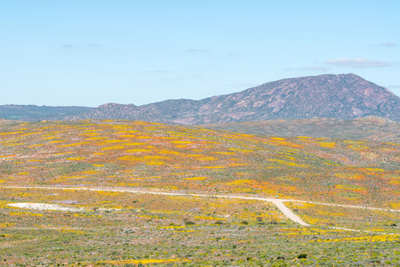 northern cape: Patches of yellow and orange flowers at the junction of the Soebatsfontein and Wallekraal to Kamieskroon roads, in the Namaqualand region of the Northern Cape Province of South Africa