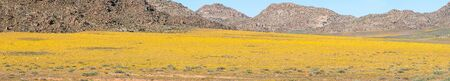 springbok: A carpet of indigenous flowers in the Goegap Nature Reserve at Springbok, in the Namaqualand region of the Northern Cape Province of South Africa Stock Photo