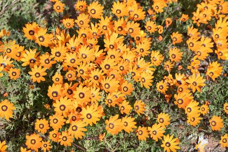 南アフリカ共和国の北ケープ神々 の花園ナマクワランド地域で Soebatsfontein の近くのオレンジのひなぎく