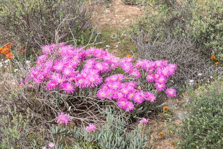 northern african: Pink-purple flowers of a succulent plant from the Asridia species growing next to the road between Soebatsfontein and Wallekraal in the Namaqualand region of South Africa Stock Photo