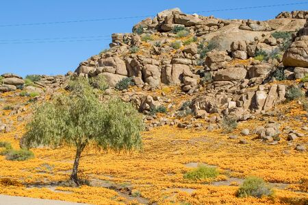 northern cape: A sea of orange daisies on the slopes of a hill in Nababeep, a small mining town in the Northern Cape Namaqualand
