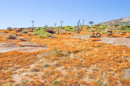 mining town: A sea of orange daisies on the slopes of a hill in Nababeep, a small mining town in the Northern Cape Namaqualand