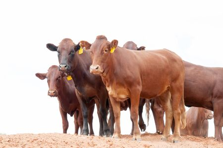 northern african: UPINGTON, SOUTH AFRICA - MARCH 14, 2011: Red Afrikaner cattle on a farm in the Kalahari semi-desert north of Upington