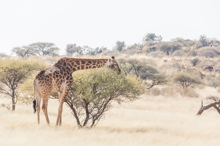northern cape: A giraffe between acacia trees on a game farm in the Northern Cape Karoo region of South Africa