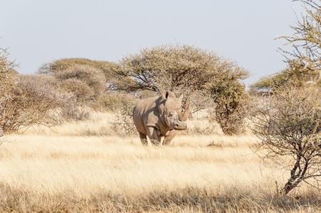nashorn: Southern White Rhino in der Wiese von Dornen umgeben
