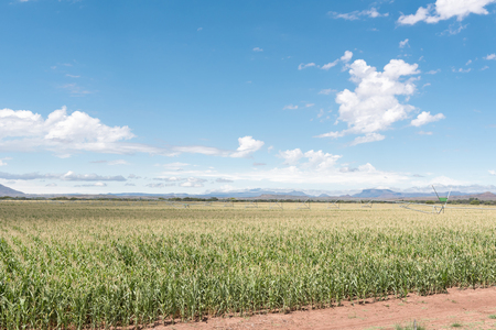 pivot: A center pivot irrigation system using rotator style pivot applicator sprinklers near Hofmeyer in a corn field in the Eastern Cape Province