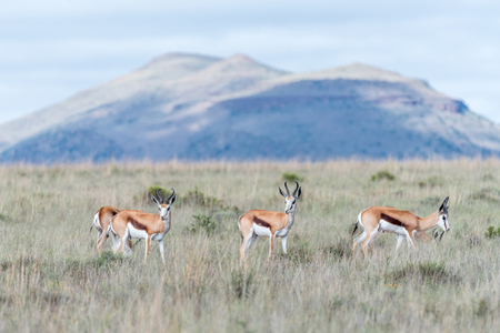 springbok: Springbok in the Mountain Zebra National Park near Cradock in South Africa Stock Photo