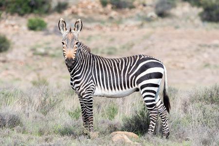 nature conservancy: A mountain zebra, Equus zebra zebra, in the Mountain Zebra National Park near Cradock in South Africa