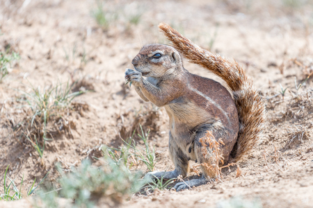 xerus inauris: A ground squirrel shading it self with its tail from the harsh sun in the in the Mountain Zebra National Park near Cradock in South Africa