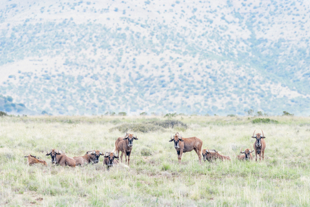 african wildebeest: A herd of black wildebeest, Connochaetes gnou, in the Mountain Zebra National Park near Cradock in South Africa Stock Photo